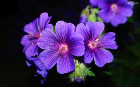 030_Violet