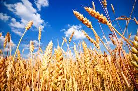 031_Wheat
